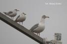 Późnojesienne obserwacje ptaków_2