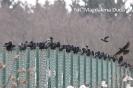 Późnojesienne obserwacje ptaków_3