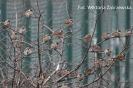 Późnojesienne obserwacje ptaków_4